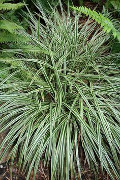 Japanese Sedge for sale buy Carex morrowii 'Goldband'