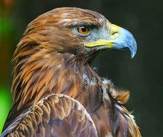 Owl Bird, Bird Art, Pet Birds, Wild Animals Pictures, Animal Pictures, Eagle Painting, Eagle Pictures, Eagle Art, Golden Eagle