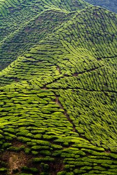 Tea plantations, Cameron Highlands, Malaysia...a work of landscape art that will become a yummy drink!