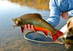 Large Brookie caught on Bar BC Ranch