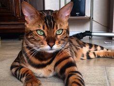 Estos gatos con color de ojos diferentes son hermosos - Taringa!