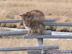 Don't Fence Us Out of Our Public Lands. These cougar kittens were sought refuge from 5 coyotes on a fence on the National Elk Refuge.