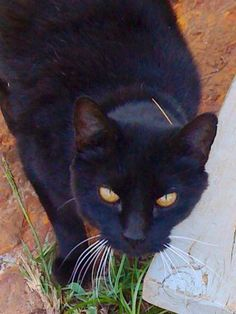 """Look at what we found! More black cats from October to delight you in November. For November keep the photos of gray cats coming in - catfaeries@catfaeries.com ! We love them! From Misty Weese: """"My sweet Roxy a few months before she passed at 16 years."""""""
