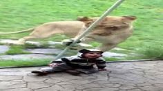 You've got to see this video of a little boy at the Oregon Zoo and the lion who wants to eat him!  Wow! http://www.kgw.com/news/Oregon-Zoo-lion-mistakes-small-visitor-for-prey-149880215.html