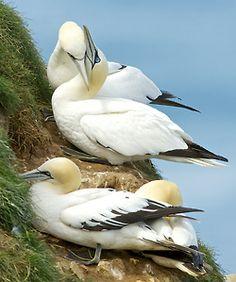 llbwwb:    Gannets (by sandy-silver)