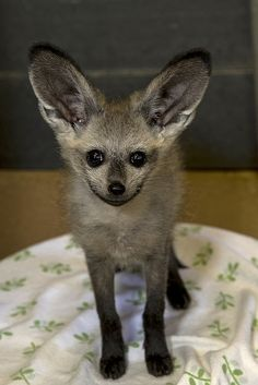 Our bat-eared #fox kit, Kusikia, is only 2 months old but she's spunky. Say hi to her in the Animal Care Center at the Safari Park, but don't challenge her to a hearing contest. She'll win.