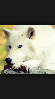 White wolf with bright blue eyes