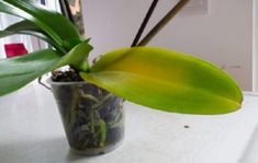 The most wanted houseplants all over the world are definitely orchids. But at the same time, most plant lovers are afraid of growing orchids due to the number of problems they arise. Orchids are a … Green Garden, Garden Plants, Indoor Plants, Planting Plants, Orchid Leaves Turning Yellow, Yellow Leaves, Growing Orchids, Phalaenopsis Orchid, Leaf Coloring