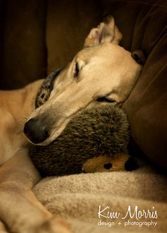 A sweet greyhound to cuddle with!