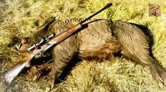 �� Abonnés vous, Liker, Commenté ��  #hunt #hunting #chasse #instachasse #instahunt #caccia #boar #huntinglife #jakt #battue #fusildechasse #huntingday #jeger #pighunting #wildboarhunting #harkila #huntingseason #chasseur #chasseurs #chasseauxcanard #chas