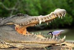 not a lizard actually ;o) tho this crazy bird might wish it were if he's not careful.  |