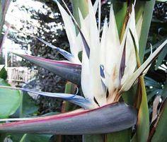 Strelitzia Nicolai - 10 Seeds - White Bird of Paradise by WorldWondersGardens on Etsy https://www.etsy.com/listing/211557752/strelitzia-nicolai-10-seeds-white-bird