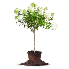 How to Prune Limelight Hydrangea into a Tree | Perfect Plants Dwarf Hydrangea, Hydrangea Tree, Hydrangea Varieties, Limelight Hydrangea, Hydrangea Paniculata, Hydrangea Not Blooming, Small Ornamental Trees, Small Trees, Hydrangeas For Sale