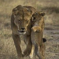 Lioness and Cubs Wildlife animals Wilderness Photography Lion Animals And Pets, Baby Animals, Funny Animals, Cute Animals, Beautiful Cats, Animals Beautiful, Big Cats, Cats And Kittens, Kitty Cats