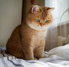 Cats british shorthair tabby 40 Ideas for 2019 Cute Cats And Kittens, Cool Cats, Kittens Cutest, Baby Animals, Cute Animals, Gatos Cool, Gato Animal, Gato Grande, Ginger Cats