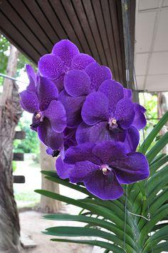 Odom's Orchids, Inc. - V. Robert's Delight 'Black'.