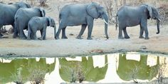 'Reflections of Elephants, Hwange Game Reserve, Zimbabwe' by maryannwest Game Reserve, Zimbabwe, Planet Earth, Planets, Ann, Elephant, Africa, Photos, Animals