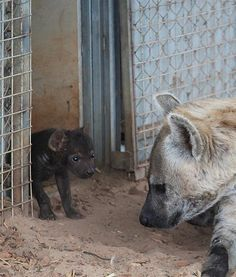 "At the Monarto Zoo in Australia, a mother hyena is seen with her cub in their enclosure. The youngster has been named Pinduli, which means ""bring a change of direction."""