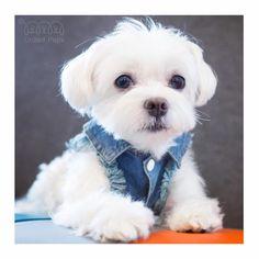 Someone just called for a cute boy? Your cute boy is here☝️! Jean jacket info www.unitedpups.com/jacket #cuteboy #denimvest #denim #jeanjacket #friday #tgif #maltese #frenchie #shihtzu #poodle #pomeranian #chihuahua #beagle #yorkie #pug #dachshund #jackrussell #corgi #puppy #dog #pet #puppylove #stylishdog #unitedpups #cool #tuesday #weeklyfluff