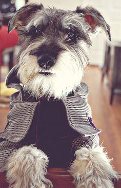 Schnauzer by luvmypets Schnauzers, Schnauzer Dogs, Mini Schnauzer, Miniature Schnauzer, Cute Puppies, Cute Dogs, Dogs And Puppies, Doggies, I Love Dogs