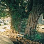 The little Church of St. James with its intriguing open air pulpit built into a churchyard yew tree at Nantglyn.