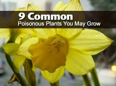 9 Common Poisonous Plants You May Grow