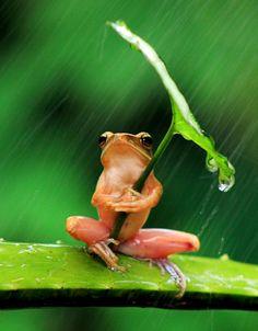 Frog uses leaf as umbrella...
