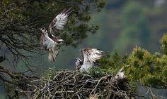 เหยี่ยวออสเปร เพศเมีย ชื่อ 'เลดี' (ขวา) กำลังต่อสู้ปกป้องรังจากเหยี่ยวเพศเมียอีกตัว ที่เขตอนุรักษ์ใกล้เมืองดันเคล ประเทศสกอตแลนด์...