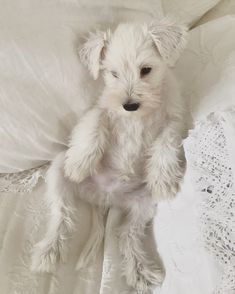 Can't wait for the unboxing of all our new White Company bed and bath linen for But what I really want is this miniature schnauzer belonging to . a girl can dream (swipe right). Fluffy Animals, Cute Baby Animals, Animals And Pets, Cute Dogs And Puppies, Doggies, Cute Creatures, Shiba Inu, Dog Breeds, Cute Babies