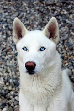 White husky with blue eyes.