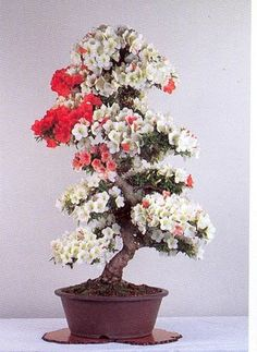 Bonsai is the art of keeping miniature trees. These are flowers bonsai tree, which look huge and great in any color.The bonsai tree is a great creature of God. Flowering Bonsai Tree, Japanese Bonsai Tree, Bonsai Tree Types, Bonsai Trees, Bonsai Flowers, Bougainvillea Bonsai, Ikebana, Plantas Bonsai, Bonsai Azalea