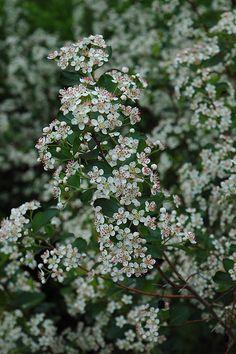 Black Chokeberry (Aronia melanocarpa 'var. elata') at Bachman's Landscaping