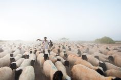 In the ocean of sheep and goats I could not swim with the wave but got covered under the cloud of dust. . Kutch the land of beautiful warm hearted strong people. Tough environmental conditions make them rough but they are one of most amazing host I ever come across during my travels. . #Kutch #herd #animals #dawn #morning #goldenhour #bbctravel #natgeo #natgeotravel #gujarat #summer #photography #pictureoftheday #picoftheday #happiness #travel #outdoors #rabari #Shepard #photostory #rabari…