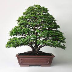 Consulta esta foto de Instagram de @the_old_bonsai • 537 Me gusta