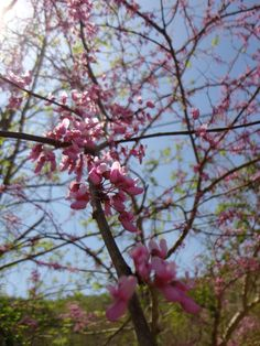 red bud - Cercis canadensis - Found along the trail at Red River Outdoors in Slade, KY http://redriveroutdoors.com/gallery