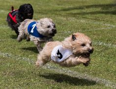 Dog day at the races | Cairn Fun Day 2016 | Kim Benson | Flickr