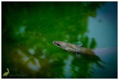 """42 Aal - Tuna - Entschlossenheit - """"(...) Winziges Kind im weiten Ozean, das die Weisheit der Gezeiten kennt. Kleines Geschöpf des uralten Flusses, das den vergessenen Traum versteht. Eigenwilliger Geist, aus Mut entstanden, der die Wasser der Morgendämmerung erforscht (...)"""" (Weisheit der Vier Winde, S. 205). www.weisheitdervierwinde.de"""