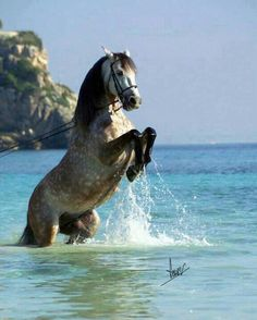 Andalusian Stallion Rearing, Horse In The sea, Beautiful Animal #HorseColicSymptomsFree http://www.loveyour.horse