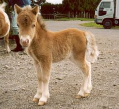 OK.....I want this Miniature horse foal....NOW!!!