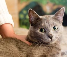 Caring for a cat with diabetes