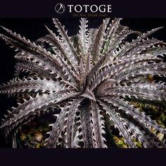 この細葉と細かいのノギが不思議な感じに見えるBill Baker Hybrid。ピンストのファイヤーをイメージしてしまう。 #dyckia #ディッキア #totoge #plants #Bromeliaceae #ヨルディッキア