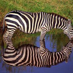 """""""Thirsty Zebra"""""""