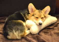 Along with exercise and eating right, a good night's sleep is also essential to good health. Catch those ZZZ's. | Community Post: Chompers The Corgi's Thoughts On Looking And Feeling Your Best