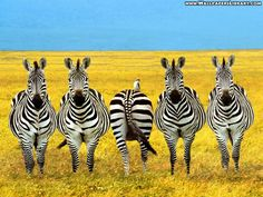 Funny Zebras Animals Wallpaper