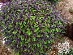 Purple leaf sage is an incredible looking shrub but hardy only to ...