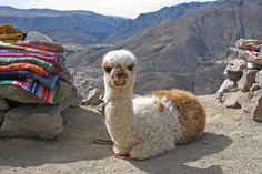 Peru Rundreisen - Jetzt Urlaub buchen! |Tai Pan Maccu Picchu, Animals, Iquitos, Amazon, Destinations, Sun, Animales, Animaux, Animais