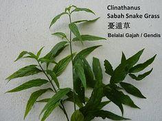 Detox 4 Cure: Sabah Snake Grass