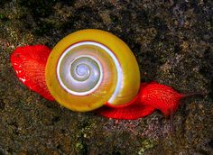 Land Snail of Bukit Fraser, Malaysia