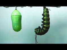 Incredible Time Lapse Captures Monarch Butterfly Metamorphosis