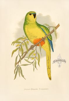 Orange-Bellied Parrakeet Australia GP17